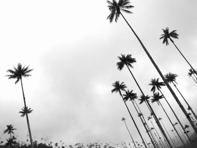 The wax palms of Valle de Cocora