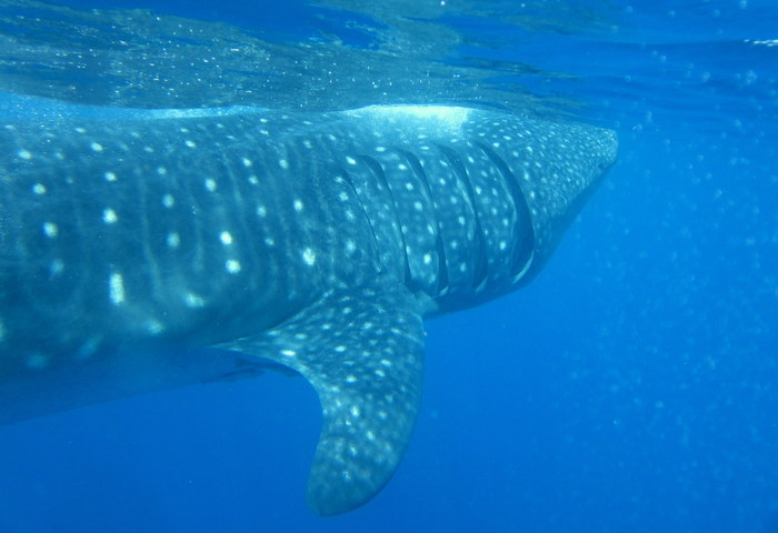 Swimming With Whale Sharks in Isla Mujeres, Mexico