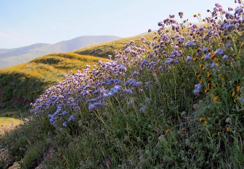Beautiful wildflower on the roadside to Carizzo