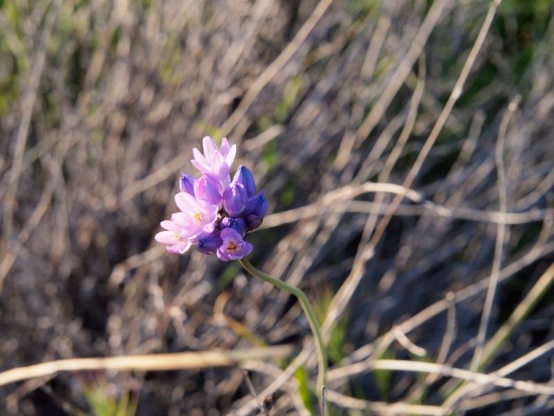 wildflower in california