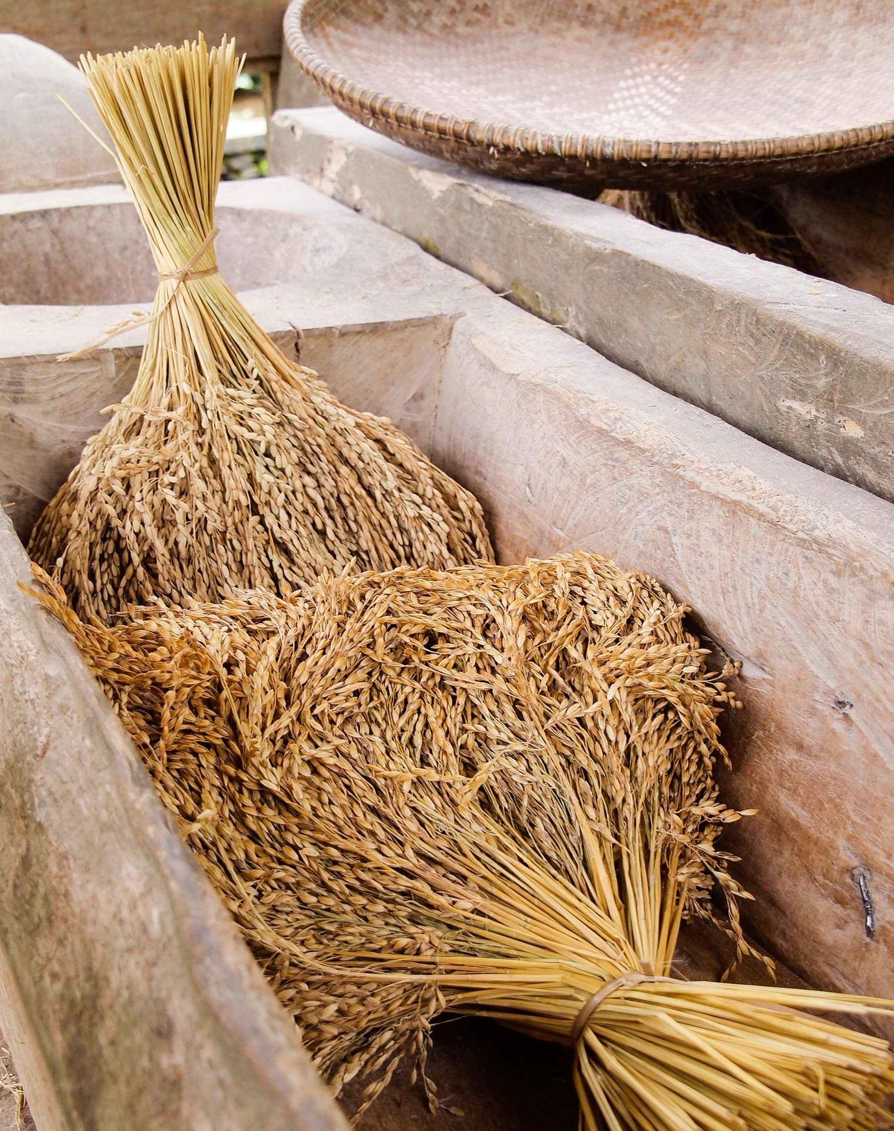 newly harvested rice stalks
