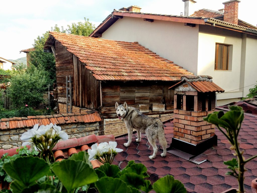 Dog, what are you doing on the roof?
